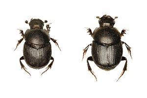 Dung Beetle Onthophagus