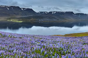 Beautiful Icelandic landscape with field in the foreground and the mountains and the fjords in the background