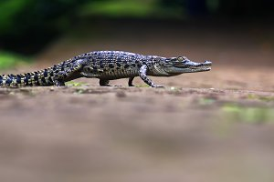 crocodile, animal, reptile,
