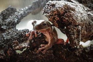dumpy frog, animal, macro,