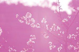 Sakura pink color tone