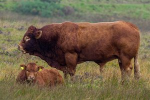 Red angus bull in autumn meadow, Scotland, Skye island