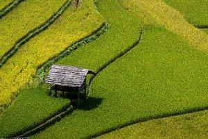 Closeup Rice fields