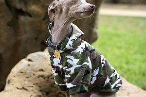 Little italian greyhound