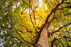 Autumn tree of oak.