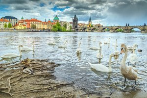 Magical Prague cityscape with swans