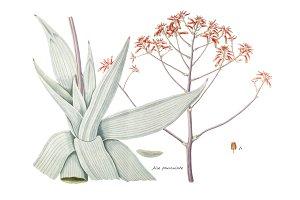 Aloe Paniculate(PNG)