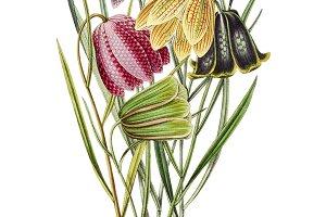 Fritillaria(PNG)
