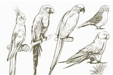 Illustration drawing of parrots