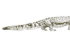 Illustration drawing of alligator