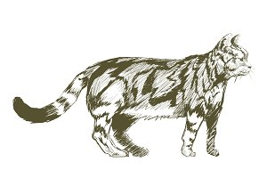 Illustration drawing of cat