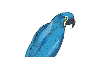 Illustration drawing of parrot