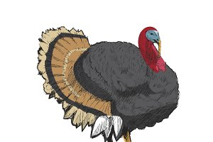 Illustration drawing of turkey