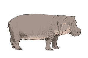 Illustration drawing of hippopotamus