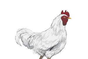 Illustration drawing of chicken