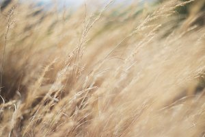 Long Wild Grass in the Breeze