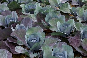 Red cabbage of fresh harvest