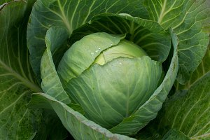 Freshly harvested cabbage