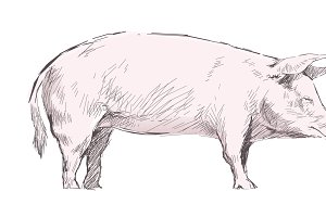 Illustration drawing of pig
