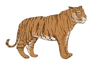 Illustration drawing of tiger