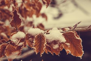 autumn leaves in the first snow