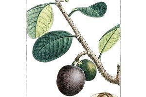 Antique illustration (PNG)