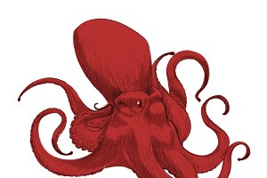 Illustration drawing of octopus