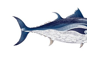 Illustration drawing of fish