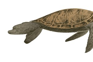 Illustration drawing of turtle