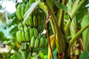 palm tree with green bananas