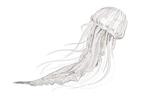 Illustration drawing of jelly fish