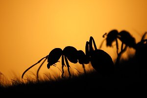 Ants - sentinel