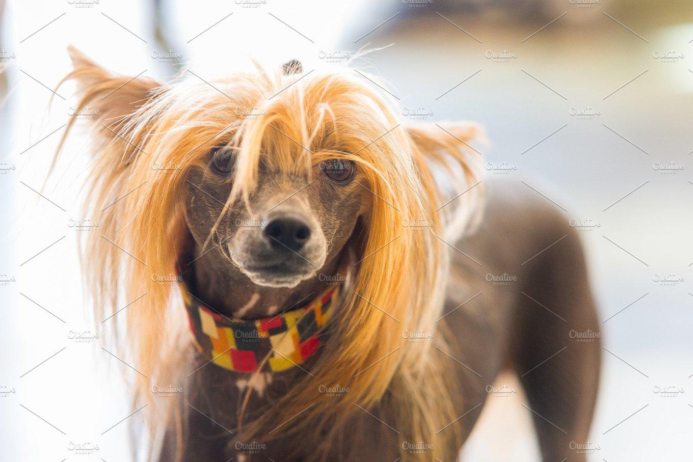 Chinese Crested Hairless Dog Animal Photos Creative Market