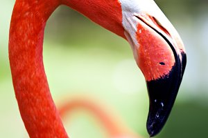 Profile of American flamingo with it