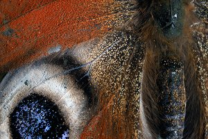 Butterfly wing. Red and brown colors. macro