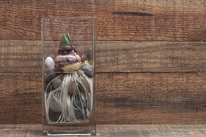 hyacinth bulb and roots on glass pot