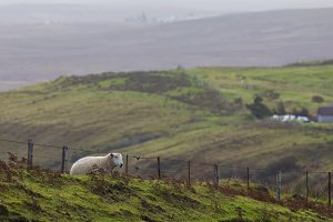 Sheep in the mountains - skye isle, Scotland