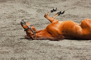 Funny horse rolling upside down