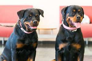 Two beautiful rottweilers