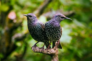 Two Beautiful Starlings