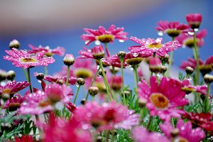 Pink daisies with drops after rain