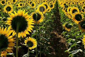 Sunflowers on field