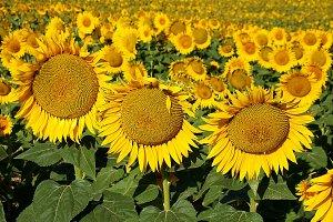 Sun flowers on field