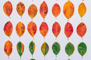 Set of autumn leaves on a white background. A collection of live brown yellow leaves. Plants of green orange on white background. Autumn foliage from a tree in October. Sick leaves to the point of the worms.