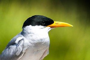River Tern Bird Beak