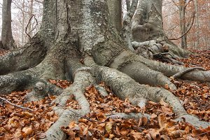Roots in a beech forest