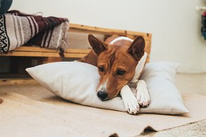 Cute basenji puppy cosy at home