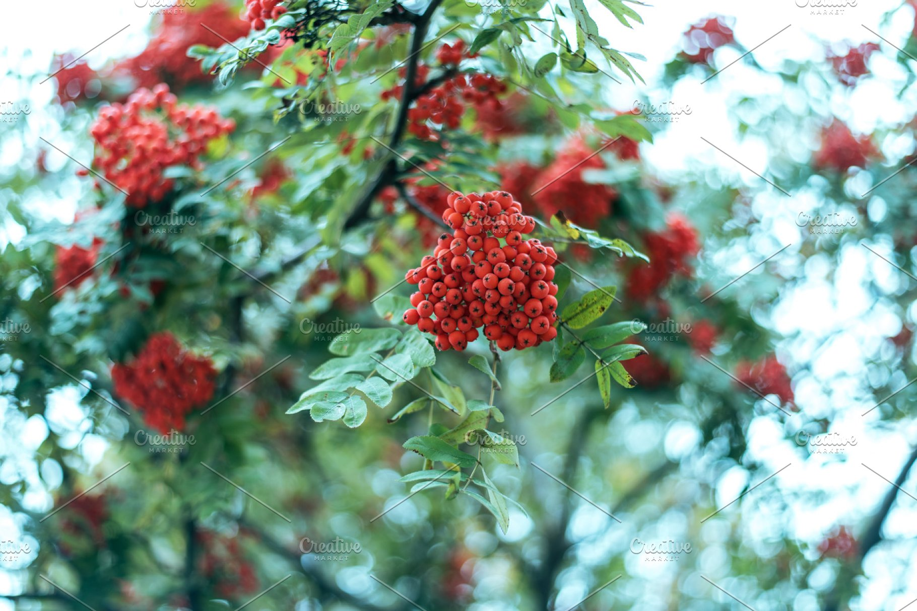 Ripe Berries Of Mountain Ash Grow On A Tree Autumn Red Berries