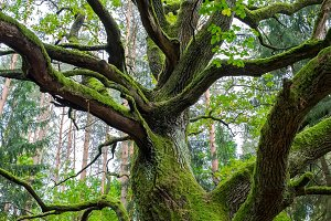 Oak cowered with green moss