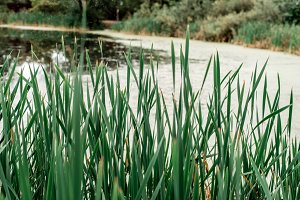 Reeds by lake, a spring day, in nature, a pond overgrown with grass, in the park in the early morning.